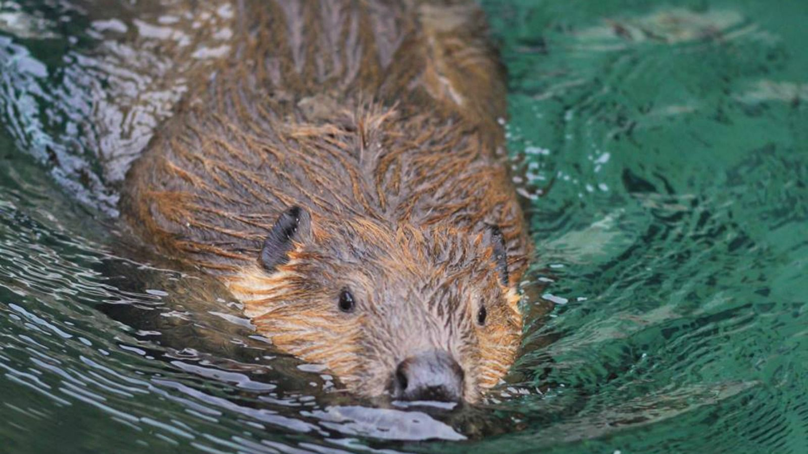 Experience Wildlife - Timber The Beaver